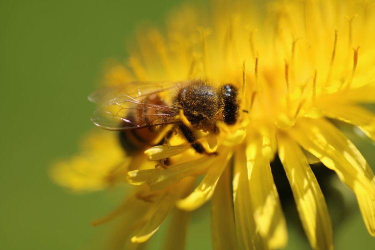 Die fleißige Biene. Ist erst der neue Tag erwacht, küsst Morgentau das kleine Blümchen, das Blümchen lockt ein trunken Bienchen zu seinem süßen Lebensquell, so ist mit Sorge es erdacht. Das Immchen trägt die Last nicht mehr und füllt die leere Wabe mit Blümleins teurer Gabe und in des Imkers Bienenstock häuft sich der Honig reich und schwer. Und süße Mäuler laben sich am Honig, an dem süßen, und Kind und Honigbär genießen zum Frühstück gerne solchen Schatz, das schmeckt wie ein Gedicht. © Franz Christian Hörschläger Animal Themes Bee Exeptional Photographs EyeEm Best Shots EyeEm Nature Lover Freshness Good Morning Hello World Ladyphotographerofthemonth Look At Me Macro Macro Beauty Macro Photography Macro_collection Mother Nature Is Amazing Mother Natures Beauty... My Best Photo 2016 My Favorite Photo Pollen Pollination Symbiotic Relationship Tadaa Community Tadaa Friends Thanks For Following Me!