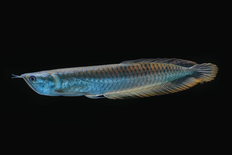 Silver Arowana fish in thailand Animal Animal Themes One Animal Fish Black Background Animal Wildlife Vertebrate Studio Shot Animals In The Wild No People Sea Full Length Water Marine Indoors  Sea Life Copy Space Underwater Nature Cut Out Saltwater Fish Profile View Animal Scale