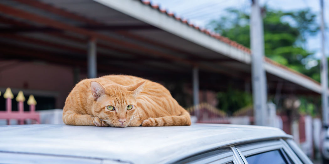 View of a cat looking through car window