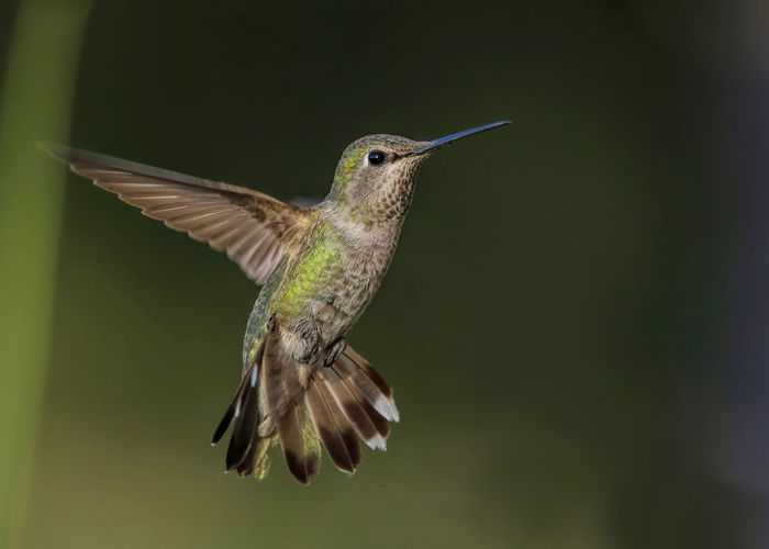 Anna's hummingbird, look at my wingspan! Anna's Hummingbird Calypte Anna Green Color Tail Spread Animal Themes Animal Wildlife Animals In The Wild Bird Blurred Motion Close-up Day Flapping Flying Hummingbird Look At My Wingspan Mid-air Motion Nature No People One Animal Outdoors Spread Wings
