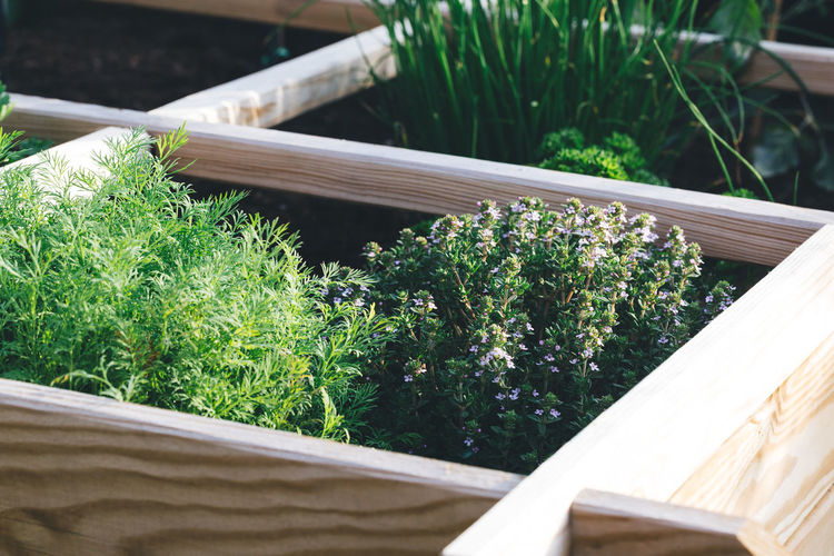 Aromatic herbs, dill, thyme, parsley and chive in a raised bed garden. Aromatic Plants Cooking Dill Herbs Wood Aromatic Day Fresh Freshness Garden Gardening Growth Leaf Nature Organic Outdoors Plant Plant Nursery Plant Part Raised Bed Garden Thyme Wood - Material Wooden