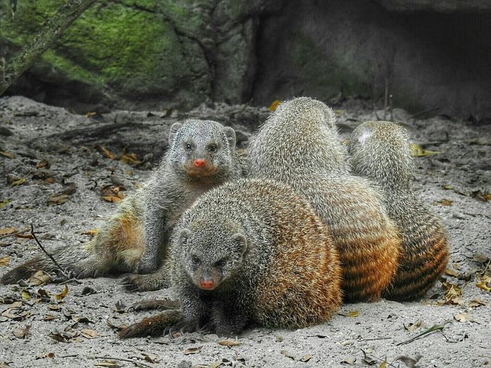 Banded Mongooses On Dirt In Forest