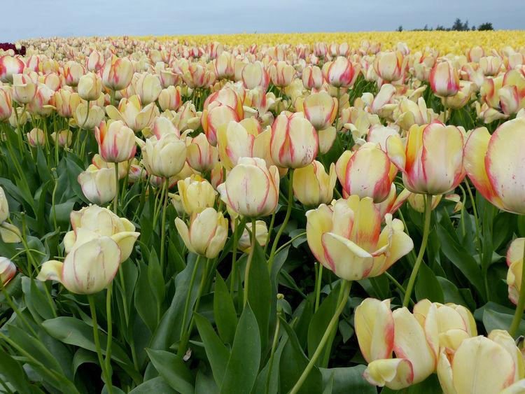 Beauty In Nature Blooming Blossom Botany Close-up Day Field Flower Flower Head Freshness Green Color Growing In Bloom Nature No People Outdoors Petal Plant Rural Scene Skagit Valley Tulip Festival  Stem Tulip Yellow