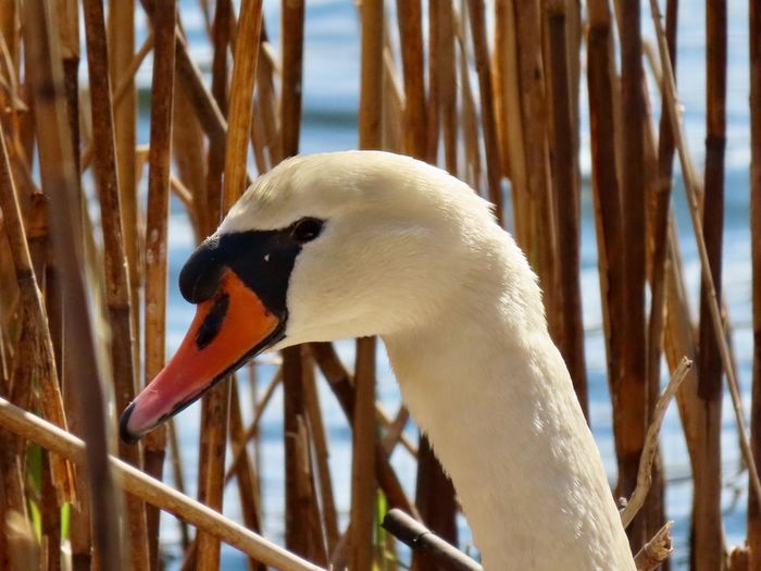 Mute swan headshot closeup Birds of EyeEm beauty in nature EyeEm nature lover outdoors birds of EyeEm Animal Themes Animal Wildlife Animal Neck Side View No People
