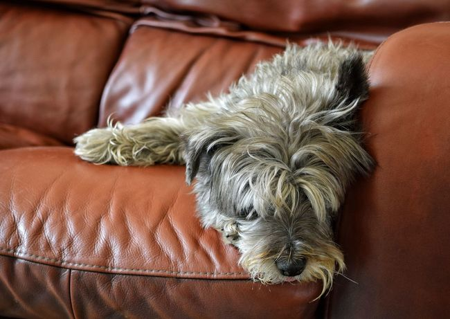 Dog Tired Pets One Animal Domestic Animals Indoors  Animal Themes Brown Dog No People Close-up Day Cute Sleeping Do Not Disturb Leave Me Alone Woof ! Terrier Grey Dozing Chilling Out Leather Sofa Lazy Zzzz Pet Portraits