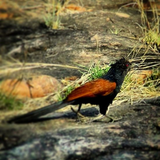 Coucal ..