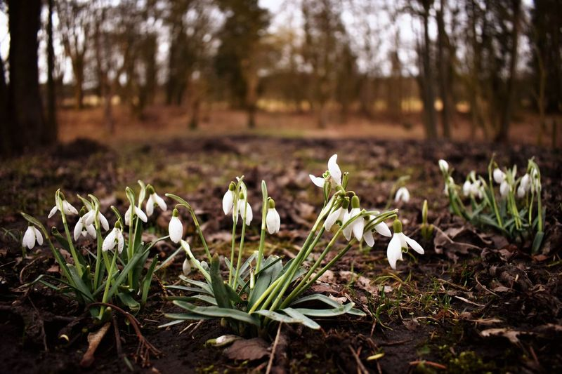 Growth Nature Field Beauty In Nature Snowdrop Freshness Focus On Foreground Fragility Flower Close-up No People Outdoors Tree Flower Head Crocus