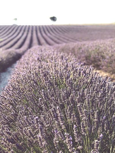 Lavender Field Lavender Plant Growth Beauty In Nature Land Nature No People Tranquility Flower Field Scenics - Nature