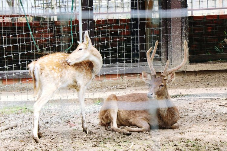 Deer in cage at zoo