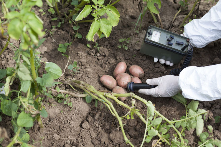 Cropped hands analyzing potatoes on field