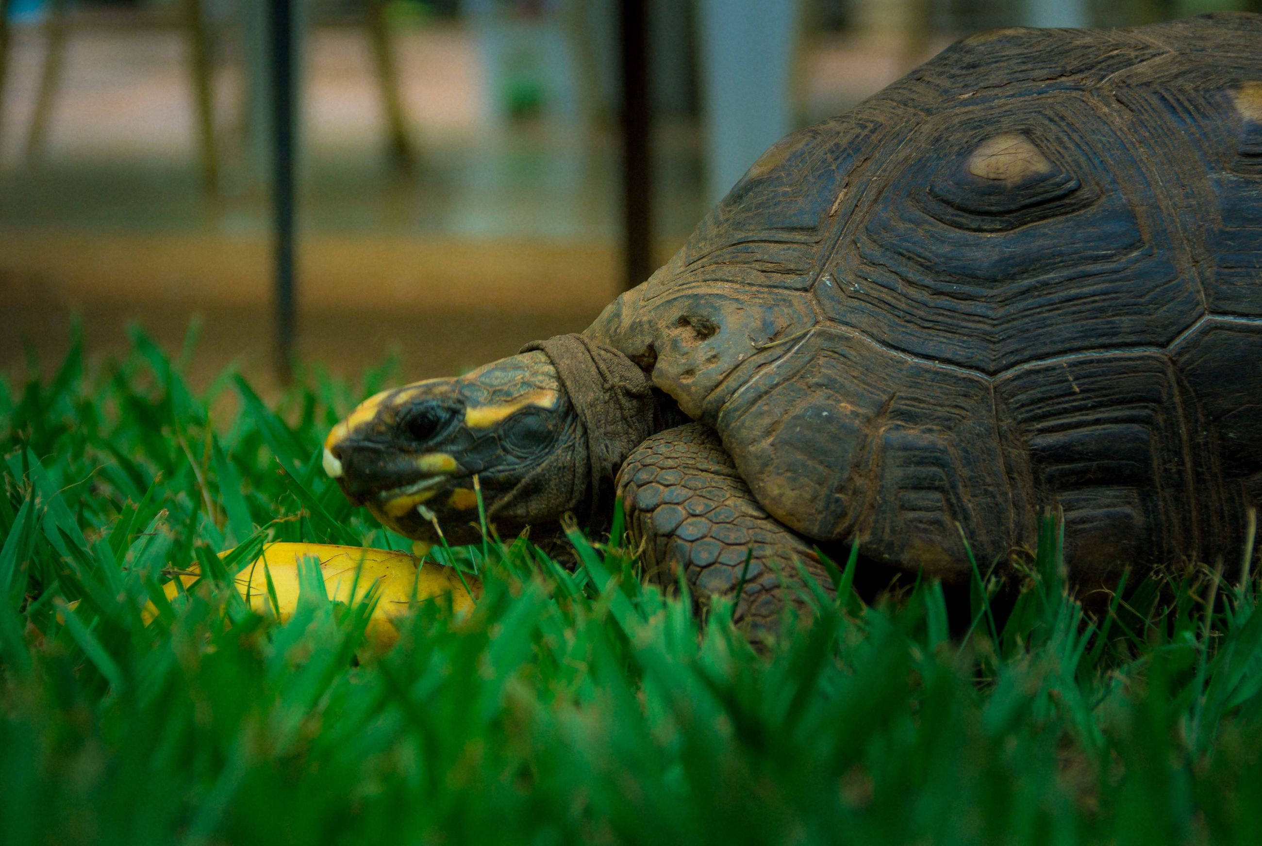 one animal, reptile, animals in the wild, animal themes, grass, animal wildlife, nature, outdoors, close-up, no people, crocodile, day, tortoise