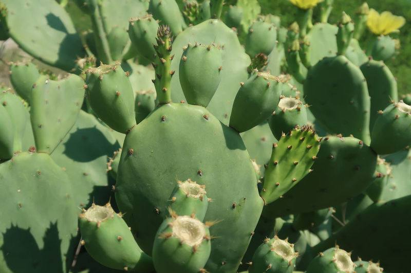 Cactus Natural Nature Wildlife & Nature Cactus Close-up Closeup Day Freshness Full Frame Green Color Growth Nature Nature_collection No People Outdoors Plant Prickly Pear Cactus Spiked Succulent Plant Summer Thorn Wild Wilderness