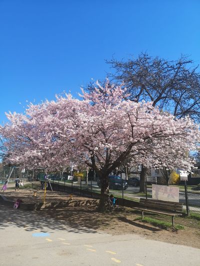 Cherry blossoms in park against blue sky