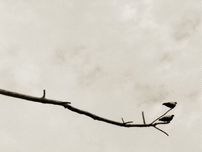 Branches And Sky Sepia Bird Photography Sepia_collection Nature Sepia Photography Pigeons Birds Birds Branch Of A Tree Branches Birds_collection EyeEm Sepia_Collection Birds Of EyeEm  Eyeem Sepia Pigeons Pigeons Everywhere Check This Out Birds On The Tree Birds On Branches Sky And Birds Branches Of Trees Bird EyeEm Nature Lover Birds In Branches Eye4photography