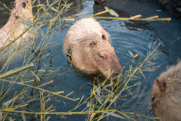 Capybaras Animal Animal Themes Mammal One Animal Animal Wildlife Animals In The Wild Vertebrate Nature Water Rodent No People Day Plant High Angle View Outdoors Rat Lake Close-up Land Animal Head