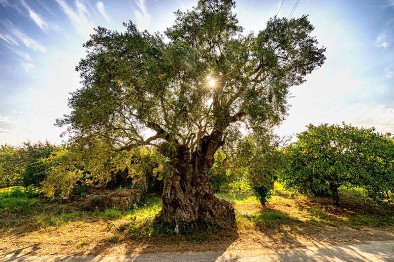 very old olive Tree EyeEm Best Shots EyeEm Nature Lover EyeEmBestPics Olive Tree Beauty In Nature Landscape Nature Outdoors Sunlight Tree Lost In The Landscape Perspectives On Nature