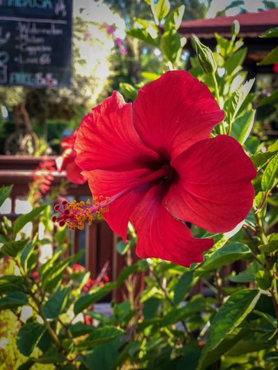 Flowering Plant Flower Plant Petal Red Fragility Vulnerability  Beauty In Nature Inflorescence Flower Head Freshness Hibiscus Growth Close-up Focus On Foreground Nature Pollen Day No People