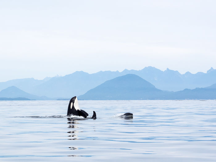 Killer Whales Swimming In Sea Against Clear Sky