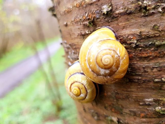 Two Snails with yellow houses on a tree. Yellow Texture Closeup Outdoors Focus On Foreground Schneckenhaus Schneckengehäuse Bark Tree Rinde Baum Nature Green Grass Spiral Gastropod Snail Animal Shell Mollusk Close-up Wildlife Shell Slow Invertebrate Arthropod Animal Markings Group Of Animals Slug