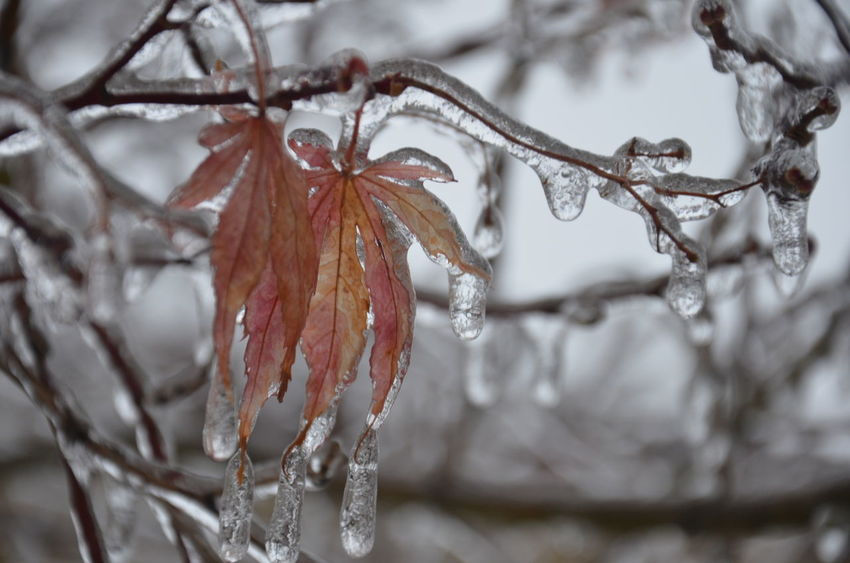 Ice Storm of 2014 Bowing Trees Chinese Maple Leaves Drip Drops Frozen Frozen In Time Frozen Nature Ice Age Iced Sea Shells IceStorm Icy It'sColdOutside It's Cold Outside
