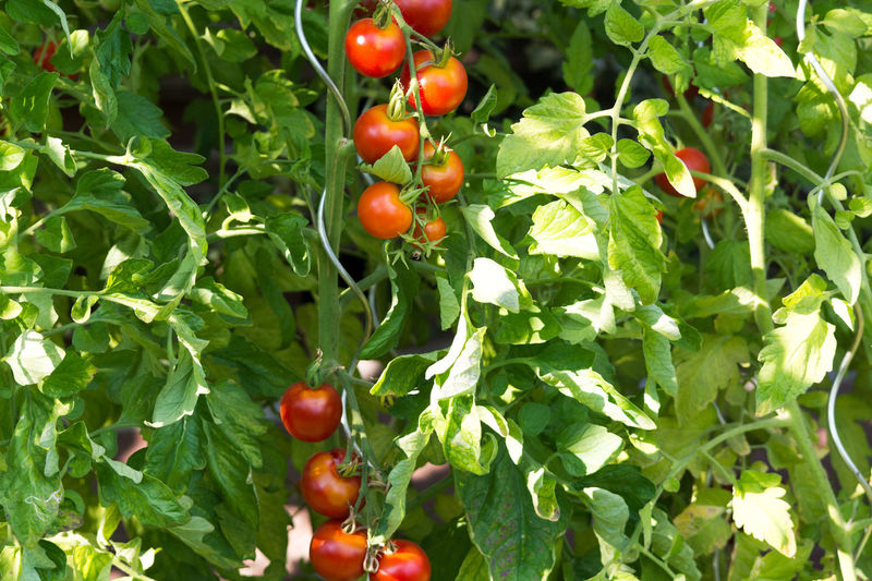 Fresh Tomatoes plant growing in a greenhouse Fruit Food And Drink Healthy Eating Leaf Food Growth Plant Part Freshness Plant Green Color Nature Wellbeing Red Day Tomato No People Berry Fruit Outdoors Beauty In Nature Vegetable Ripe