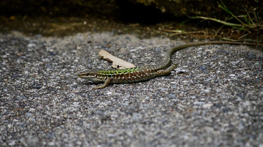 Animal Themes One Animal Animal Animal Wildlife Animals In The Wild Reptile Vertebrate No People Lizard Day Selective Focus Nature Close-up Outdoors Animal Body Part Zoology Rock Solid Rock - Object Textured  Animal Scale
