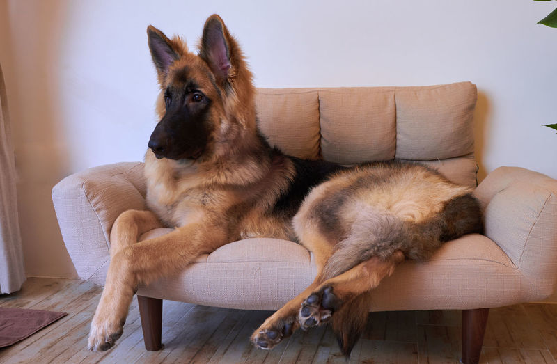 Dog sitting on sofa at home
