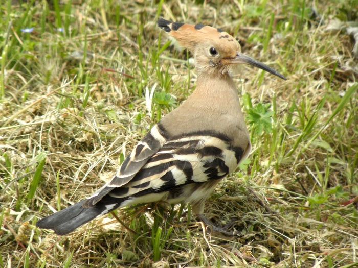 Hoopoe Animals In The Wild Grass Animal Themes One Animal Animal Wildlife Field Nature Outdoors Bird No People Day Bird Photography Birds_collection Birds Of EyeEm  Birdwatching Bird Watching Perching Close-up Looking At Camera Animal Eye