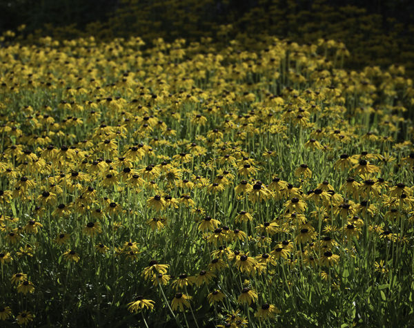 Meadow Flowers Abundance Beauty In Nature Black Eyed Susans Day Freshness Growth Nature No People Outdoors Prairie