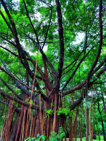 Tree Photography Tree View Low Angle View Banyan Banyan Tree Banyan Root Banyan Tree Roots Banyan Tree Trunk Beautiful Nature Beauty Of Nature Beauty Of Tree Tree In The Park The Park Big Tree Big Truck Nature Photography Tree In Nature Tree Tree Trunk Green Color Green
