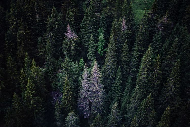 Aerial View Beauty In Nature Day Forest Green Color Green Color Growth Landscape Landscape_Collection Nature Nature Nature Photography Nature_collection No People Outdoors Pinaceae Pine Tree Scenics Spruce Tree Tranquil Scene Tree Tree Tree Trunk Trees WoodLand Perspectives On Nature