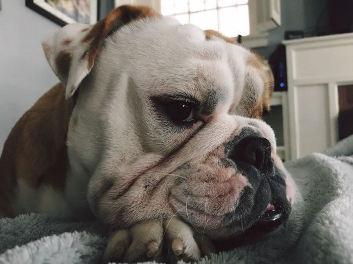 Pets Dog One Animal Domestic Animals Mammal Animal Themes Animal Head  Close-up Indoors  No People Home Interior Focus On Foreground Day English Bulldog English Bulldog Puppy Pet Portraits