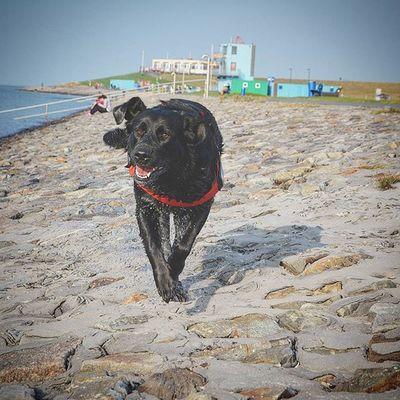 Blacklab Blacklabrador Labrador Labbi Nordsee Dogs Dogsofinstagram Picoftheday Dogoftheday Abbey Dog Hund