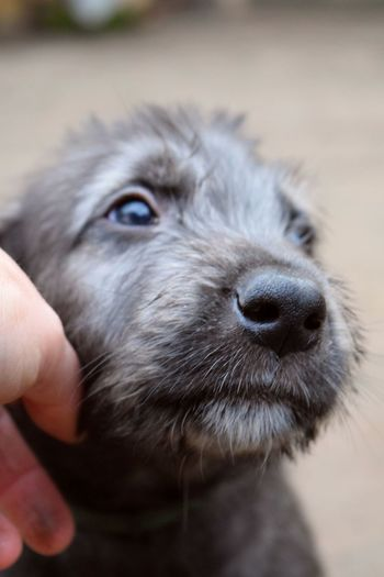 One Animal Domestic Animals Pets Human Hand Dog Animal Head  Close-up Outdoors Looking At Camera Portrait Puppy Love Dog Of The Day Dogwalk Bokeh Dogs Of Winter Dogs Of EyeEm Irish Wolfhound From My Point Of View Dogslife Winter 2017 February 2017 Petscorner Nose