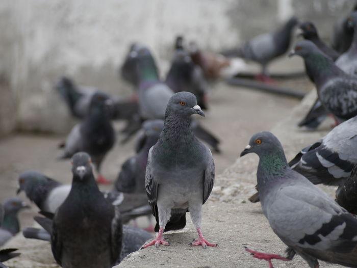 close up pigeon