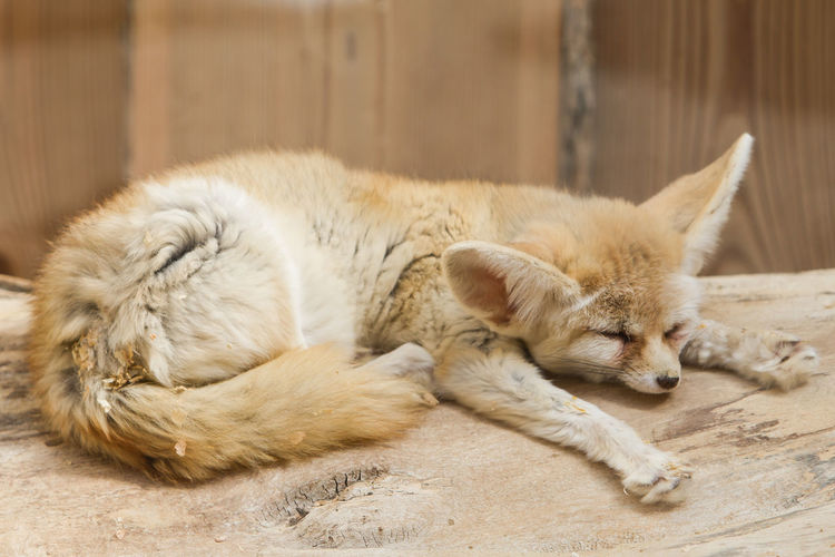 Close-up of fox resting