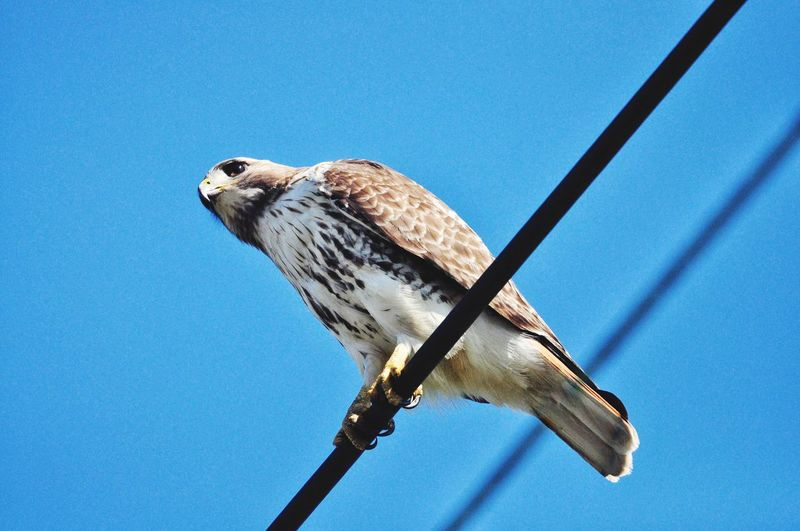 Low angle view of hawk  perching on blue sky