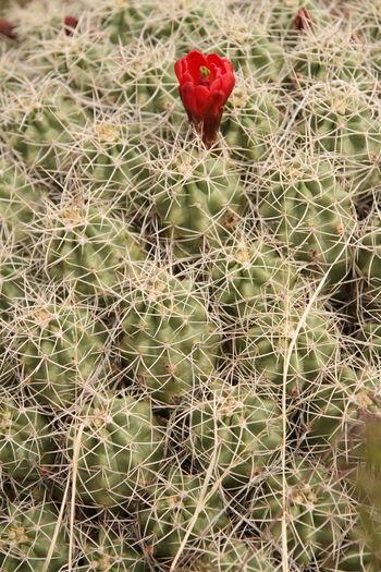 A cactus rose