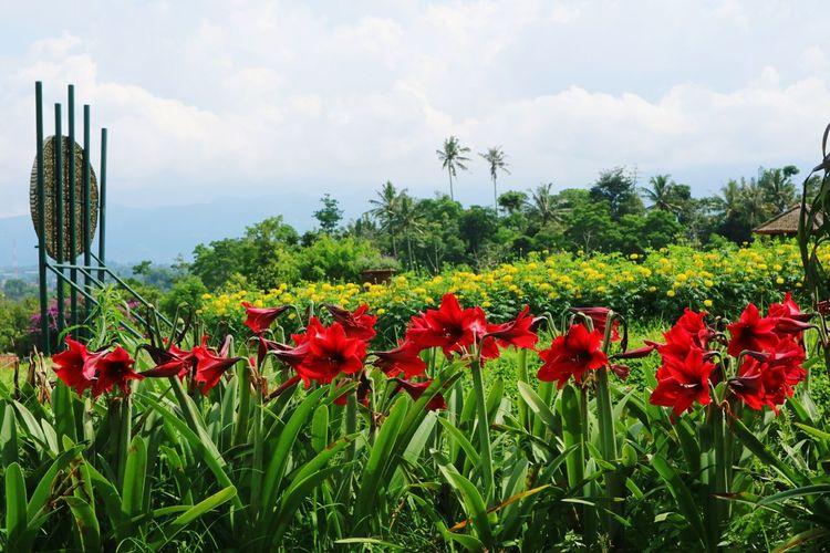 Red poppy flowers blooming on field against sky