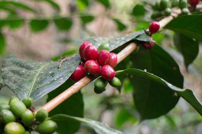 Cotacachi Riointag Coffee Coffeebeans Coffeeplant Coffeeplantation