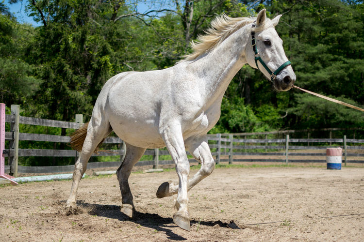 Exercise Trees Action Cantering  Dutch Warmblood Equine Gelding Halter Horse Lunging Outdoors Ring Work Runnning Sand Training Trotting White