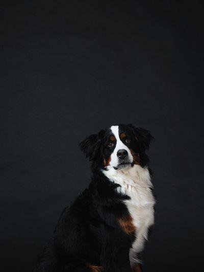 Portrait of a dog over black background