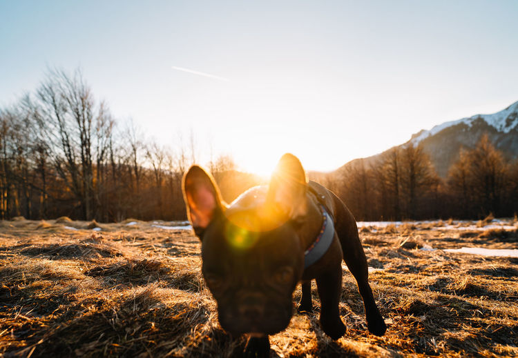French bulldog playing  on field at sunset during winter