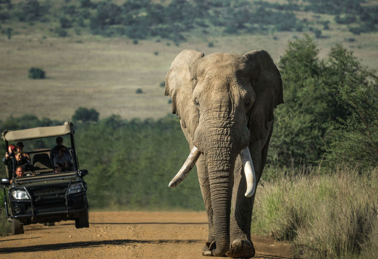 Elephant Walking On Dirt Road