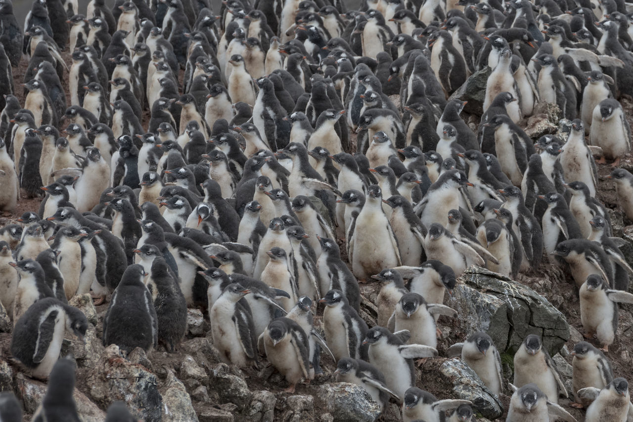 large group of animals, group of animals, animal themes, animal wildlife, animals in the wild, animal, vertebrate, bird, crowded, penguin, crowd, high angle view, colony, togetherness, young bird, nature, young animal, day, abundance, herd, flock of birds, animal family, marine
