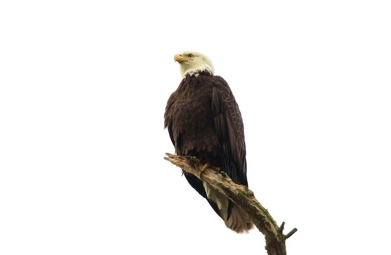 Low angle view of eagle perching on branch against clear sky