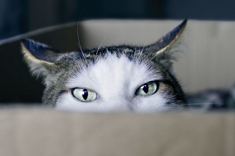 Close-up of a tabby cat in a cardboard box looking curious to the camera.