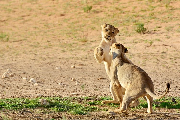 Desert Life EyeEm Nature Lover Kgalagadi South Africa Sparring Wildlife & Nature Wildlife Photography Adolescent Animal Themes Animal Wildlife Animals In The Wild Day Eye Fighting Kgalagadi Transfrontier Park Lion Cub Lions Mammal Nature No People Outdoors