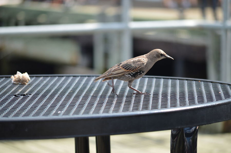 Birds🐦⛅ Halifax Canada Bird Photography Lovely Beautiful Close-up Beauty In Nature Halifax Beauty Outdoor Table By Sea Nikonphotography Showcase July Chance Encounters