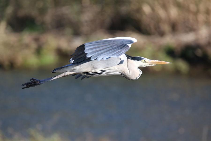 Birdwatching Birds Airone Cenerino Bird Animal Wildlife One Animal Flying Beak Animals In The Wild No People Nature Animal Themes